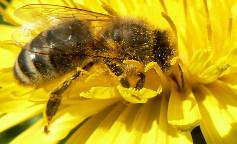 image abeille.jpg (18.6kB)